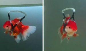 金魚の命を救うために発明した浮き袋装置。世界で絶賛される net