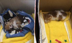 保護された子猫、人間のベッドで優雅にくつろぐ